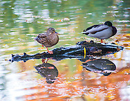 Ducks with Autumn reflections in the water, Giessen