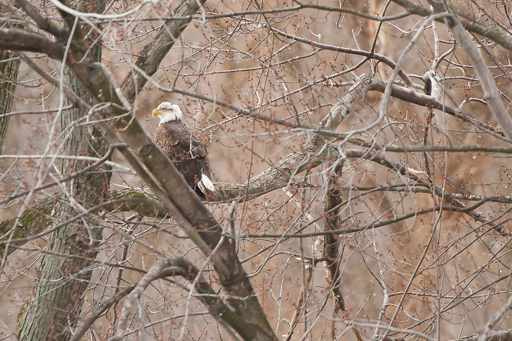 Bald Eagles of Baldwinsville