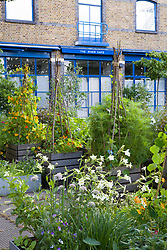 The kitchen garden at The River Cafe restaurant, London. Herbs, vegetables and edible flowers grown in moveable containers. Nasturtiums grown up rustic tripod
