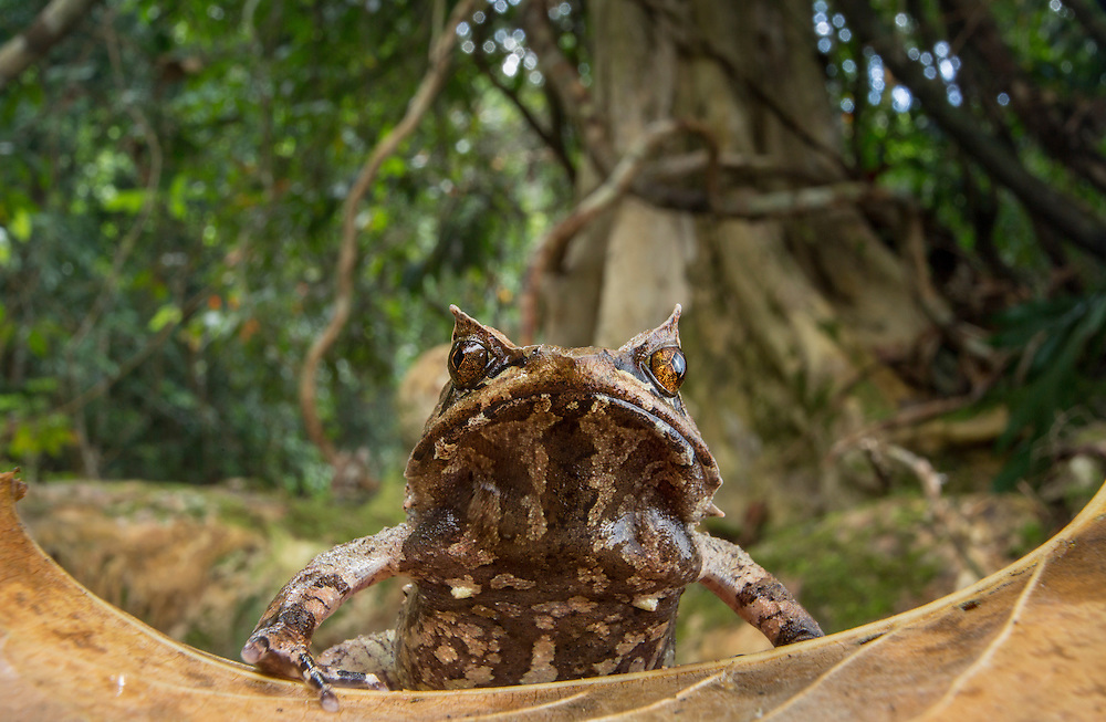 Palawan horned frog, Megophrys ligayae, an endangered species from the Philippines
