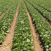 Lettuce field, Lompoc, Central California