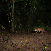 The golden jackal (Canis aureus), also known as the common jackal, Asiatic jackal or reed wolf is a canid native to north and northeastern Africa, southeastern and central Europe, Asia Minor, the Middle East, and southeast Asia.