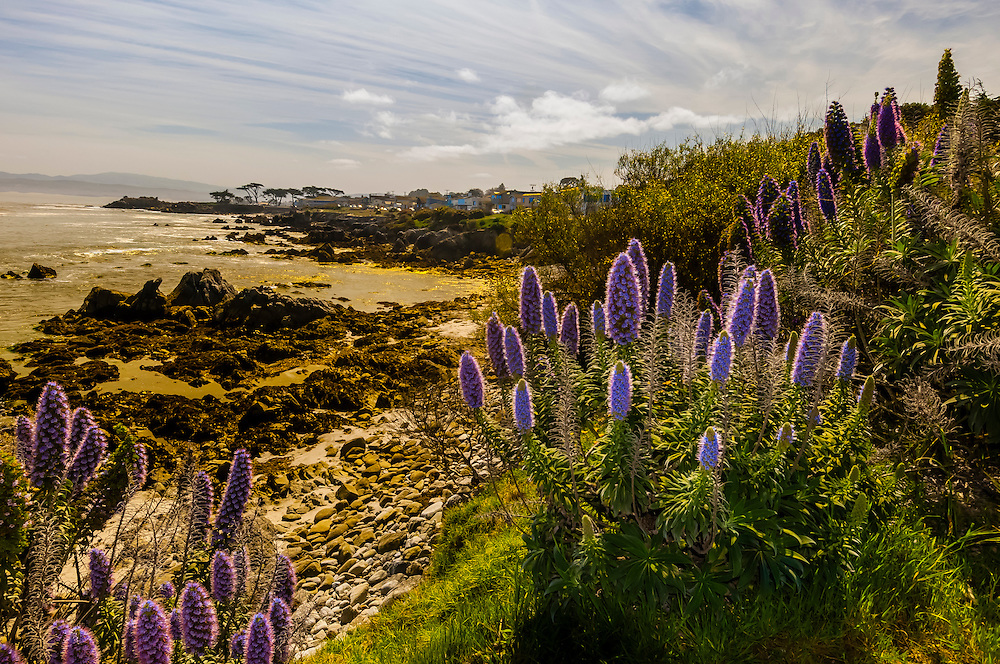 California Lupine, Pacific Grove, Monterey Peninsula, California USA