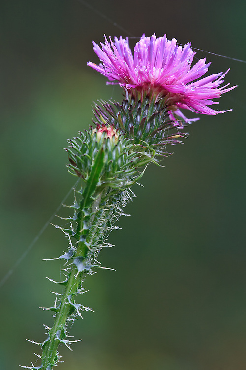 Close-up of newly flowering bull thistle (Cirsium vulgare) with raindrops and spider webs, Big Meadows, Shenandoah National Park, Virginia.