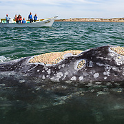 An adult gray whale (Eschrichtius robustus) surfacing to take a breath, with tourists in a whale watch boat in the background. Note the extensive barnacle (Cryptolepas rhachianecti) cover on the whale. Photographed in Baja California, Mexico.