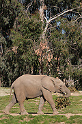 Juvenile African bush elephant, Loxodonta africana, at the San Diego Safari Park, in northern San Diego County, CA