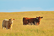 Cattle<br /> near Hodgeville<br /> Saskatchewan<br /> Canada