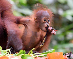 A new born baby orangutan (orang-outan) eats banana next the mother at the Sepilok Orangutan Rehabilitation Centre, on August 5, 2019 near Sandakan city, State of Sabah, North of Borneo Island, Malaysia. Palm oil plantations are cutting down primary and secondary forests vital as habitat for wildlife including the critically endangered Bornean and Sumatran orangutans. Photo by Emy/ABACAPRESS.COM