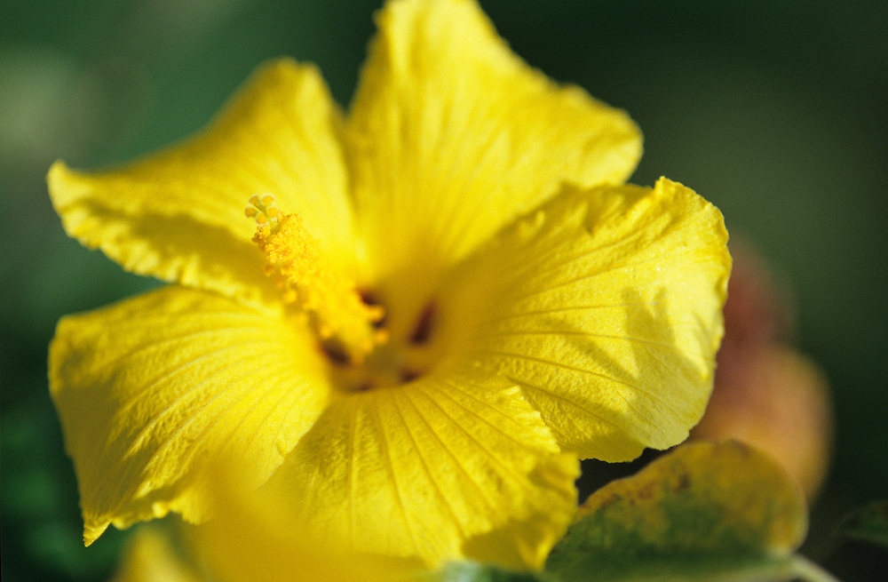 Mao Hau Hele Hawaii State Flower, Yellow Hibiscus shot at the visitors center of Kokee State Park