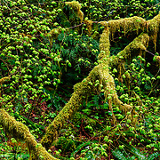Sol Duc Rain Forest (Vine Maple) in Olympic National Park.