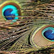 A close-up of the elaborate eye-spot of the Indian Peafowl's tail feathers. Turtleback Zoo, West Orange, New Jersey, USA