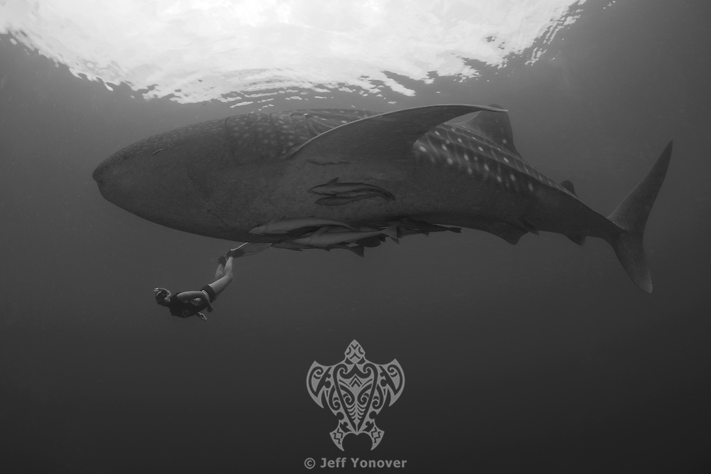 Diver and Whale Shark..Shot in Indonesia
