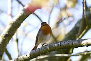 Erithacus rubecula - European Robin