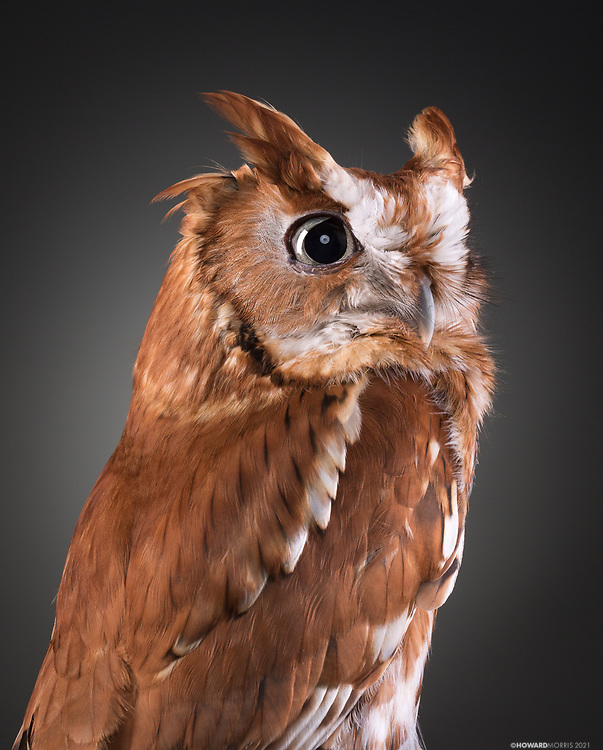 Eastern Screech Owl (Megascops Casio). Riley came to ORC from Louisville, Kentucky after he was hit by a car and sustained visual and auditory damages, rendering him non-releasable