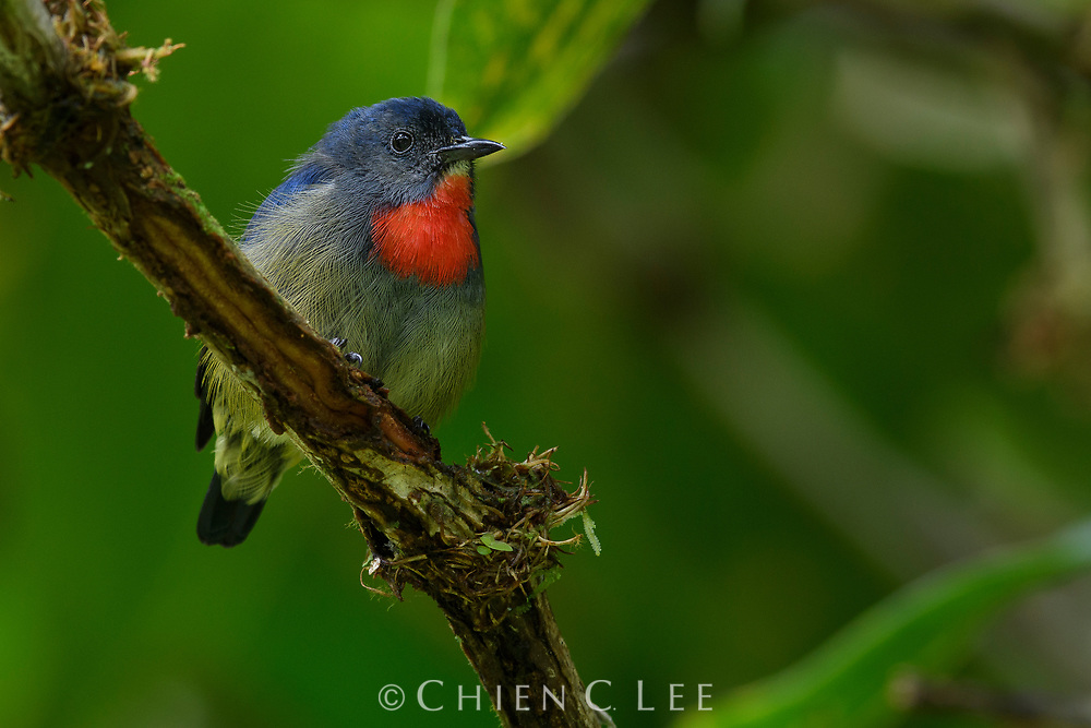 The Black-sided (or Bornean) Flowerpecker (Dicaeum monticolum) is the only montane flowerpecker in Borneo and is endemic to the island.