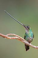 Sword-billed Hummingbird (Ensifera ensifera), Jardin, Antioquia