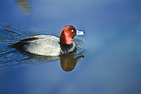 Redhead duck (Aythya americana) male.  Male: Reddish head; black breast and grayish body.  Habitat:  Found in ponds, lakes and bays.
