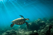 Green Sea Turtle swimming off the North Shore of Oahu, Hawaii.