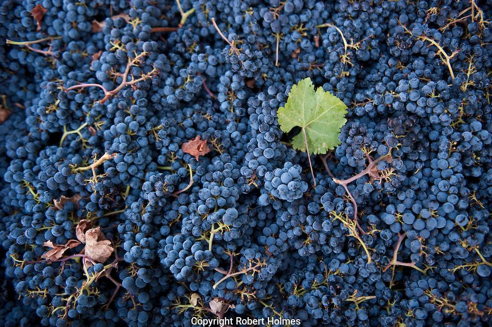 Merlot grapes, Duckhorn Vineyards, Napa Valley
