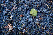 Merlot grapes, Duckhorn Vineyards, Napa Valley