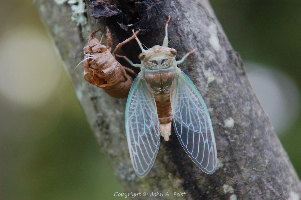 This cicada had just emerged from the shell next to it.  Princeton Nursery, Princeton, NJ