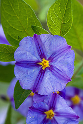 Solanum rantonnetii syn. Lycianthes rantonnetii. Blue potato bush