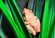 Coqui [Eleutherodactylus] in bromeliad, Puerto Rico's national symbol, tiny tree frog, Puerto Rico
