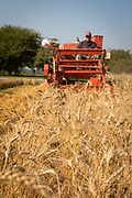 Steve Lyons harvesting wheat at WSU Research field in Mt. Vernon, WA.