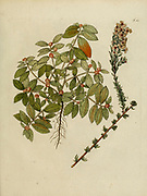hand painted Botanical illustration of flower details leafs and plant from Collectaneorum Supplementum by Nicolai Josephi Jacquin Published 1796. Figure 11