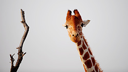 Image ©Licensed to i-Images Picture Agency. 15/06/2009. Giraffes on Sir Bani Yas Island, in the United Arab Emirates, a former private nature reserve belonging to the late Sheikh Zayed, The founder of the United Arab Emirates , the Island  has been recently opened to the public and is the first safari in the United Arab Emirates.Picture by Andrew Parsons / i-Images