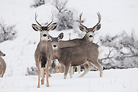 A group of Mule deer stand together during a snowstorm in a mountain valley in the Rocky Mountains.