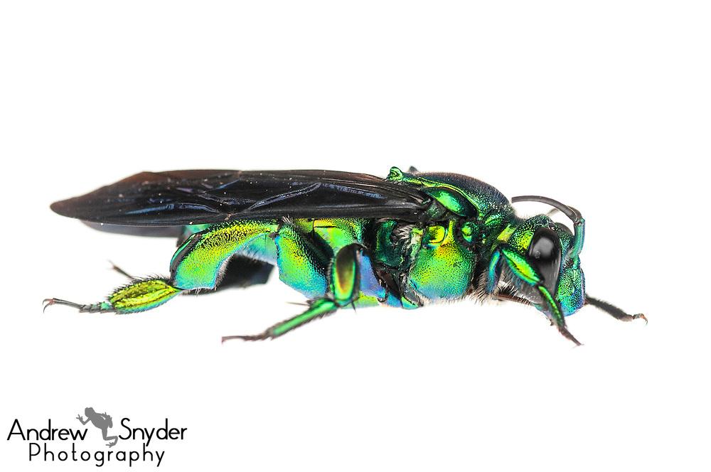Orchid bee (Exaerete sp.) - Iwokrama, Guyana.