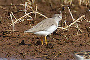 Terek Sandpiper photos