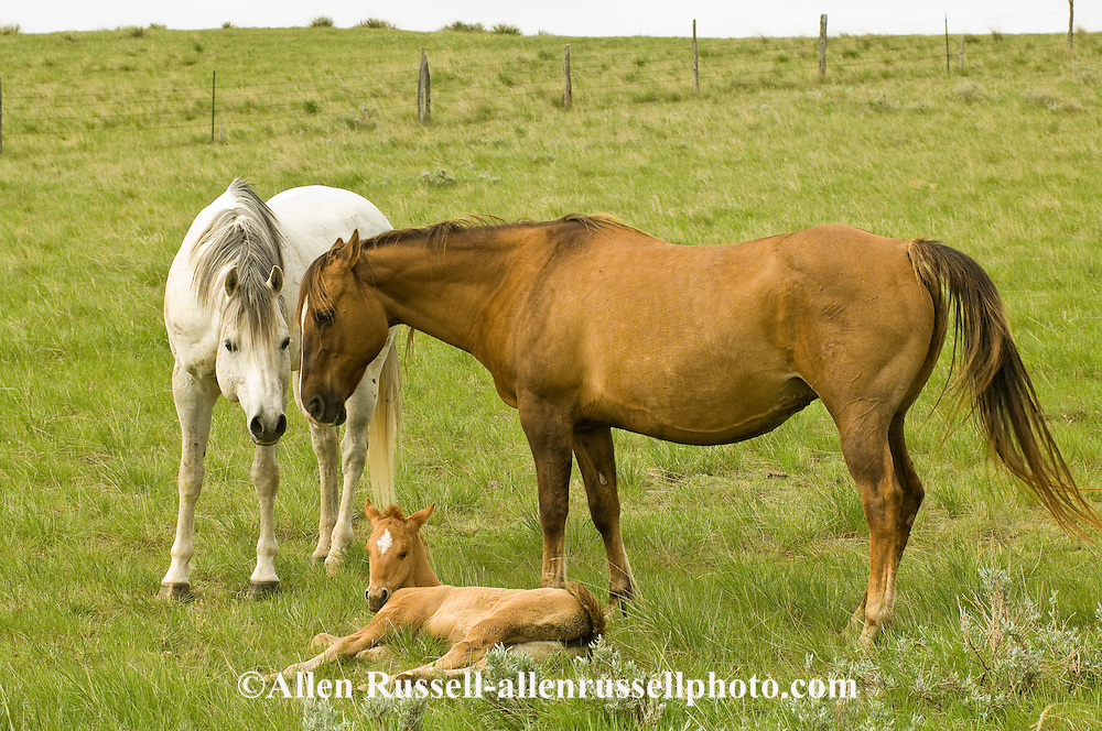 Quarter Horses, stallion teases mare to see if she is in heat to breed, foal resting<br /> PROPERTY RELEASED