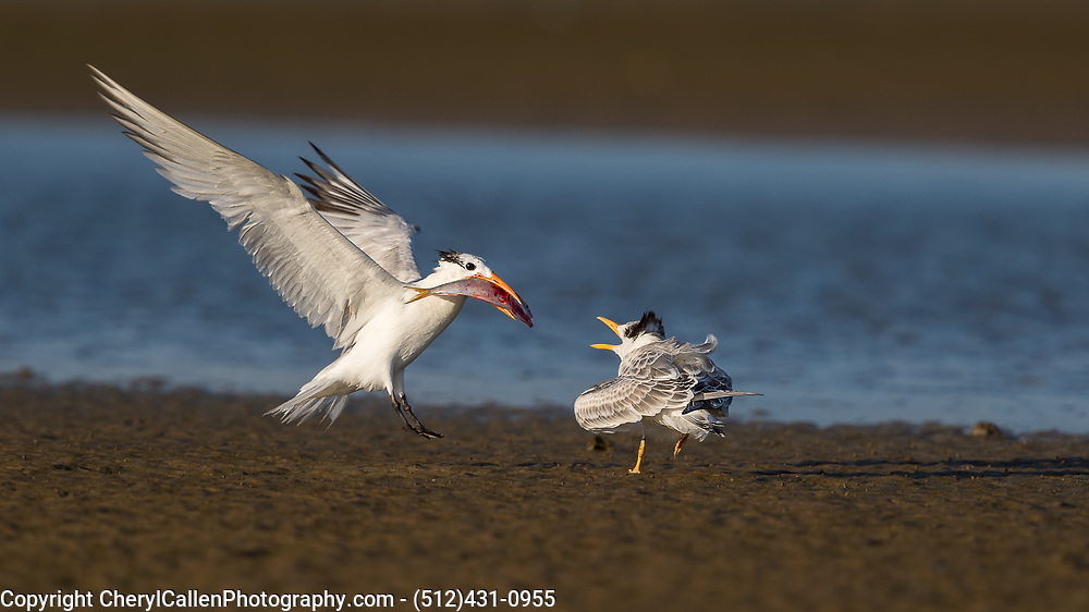 Royal Tern parent flying in to feed it's chick