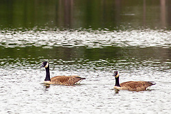 A pair of Canadian Geese (Branta canadensis) swim across a small lake in Central Illinois
