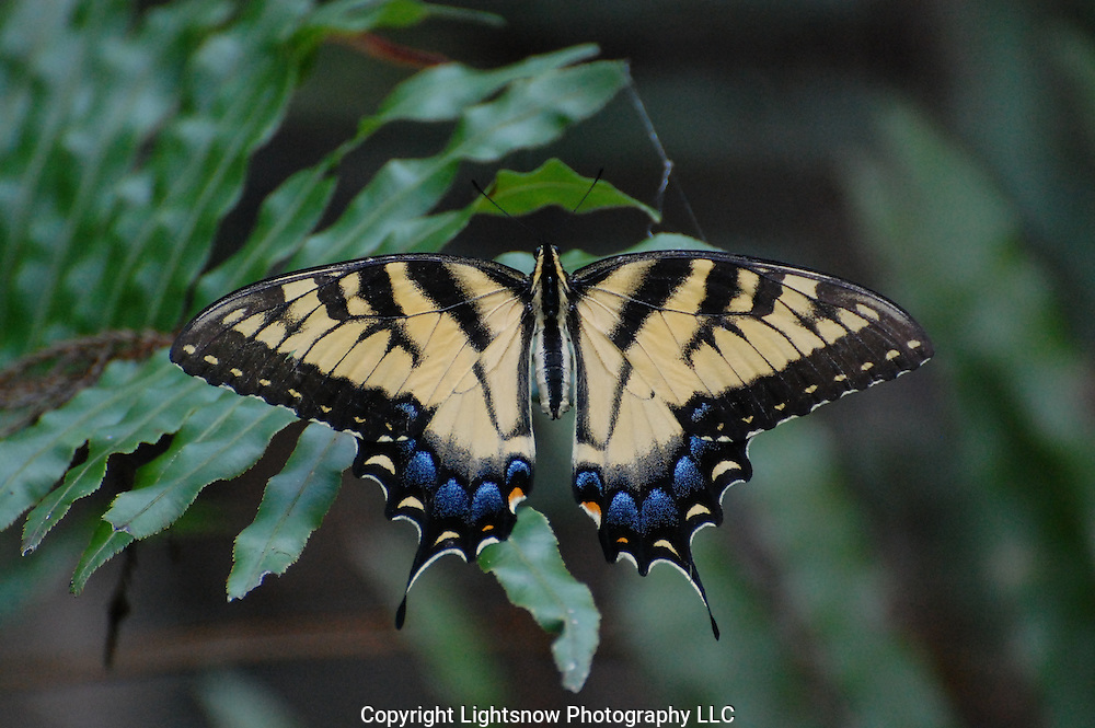 This is a photograph of an Eastern Tiger Swallowtail Butterfly.  It was taken at Six Mile Cypress Preserve in Fort Myers, Florida.