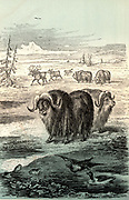 Musk Ox (Ovibos moschatus), large mammal of the Arctic regions of Alaska, Canada and Greenland.  Chromoxylograph from 'The Polar World' by G Hartwig (London, 1874).