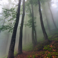 High beech trees in foggy forest