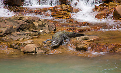A saltwater crocodile (Crocodylus porosus) moves from a freshwater pool under a waterfall to the saltwater in Dugong Bay, on the Kimberley coast near the iconic Horizontal Waterfalls.