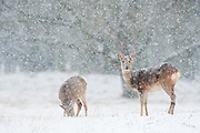 Two Roe Deer (Capreolus capreolus) walking in the snow and looking for food during a snowstorm in the Amsterdamse waterleidingduinen, The Netherlands. January 2013.