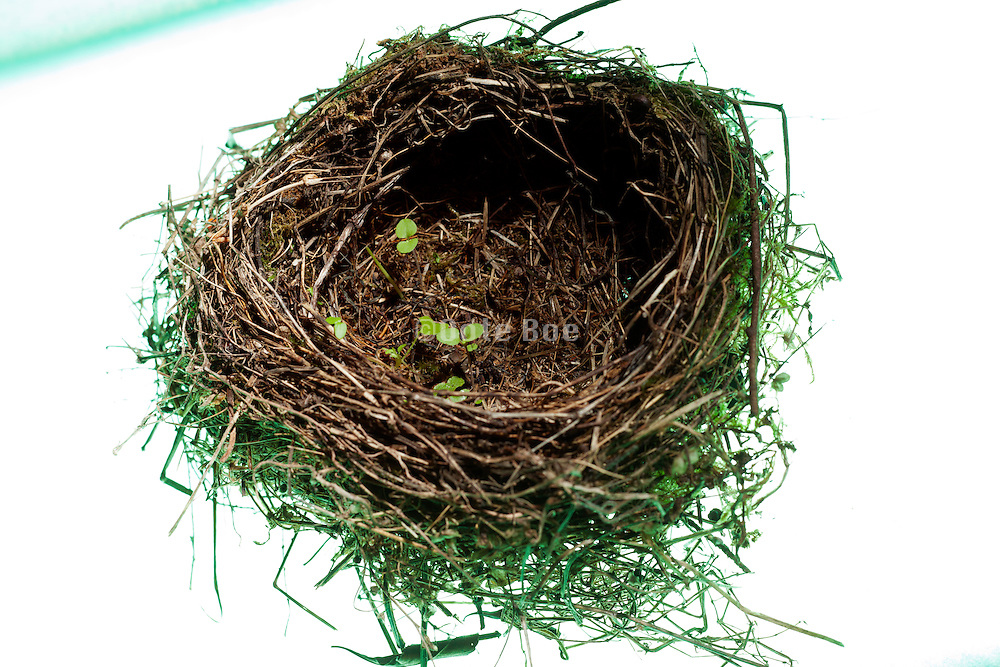 bird nest with grass sprouting