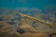 Longnose Gar<br /> <br /> Isaac Szabo/Engbretson Underwater Photo