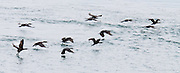 Cormorants (in the bird family Phalacrocoracidae) fly over Harney Channel, San Juan Islands, Washington, USA