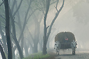 Ox cart loaded with hay coming down tree lined road in fog