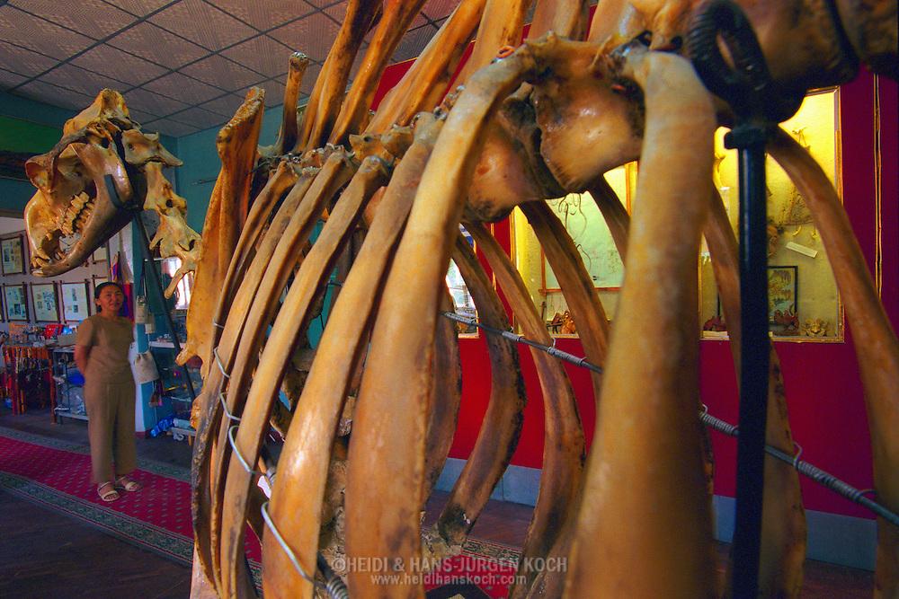 Mongolei, MNG, 2003: Kamel (Camelus bactrianus). Skelett eines Kamels im Naturkundemuseum von Ulan Bator, der Hauptstadt der Mongolei. | Mongolia, MNG, 2003: Camel, Camelus bactrianus, skeleton of a camel in the Natural History Museum in Ulaanbaatar, capitol city of Mongolia. |
