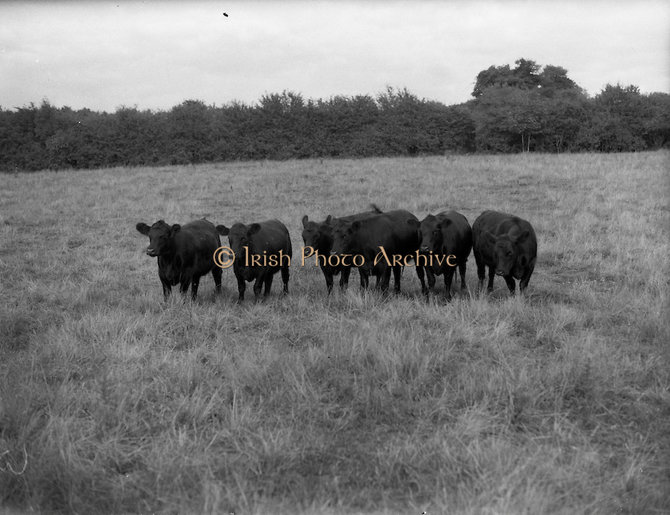 """12/08/1959<br /> 08/12/1959<br /> 12 August 1959<br /> Pedigree Bulls and Heifers for Coras Trachtala. Group of six yearling heifers by """"Winalot of Haymount"""", owned by Colonel and Mrs. Palmer, Summerhill, Thomastown, Co. Kilkenny."""
