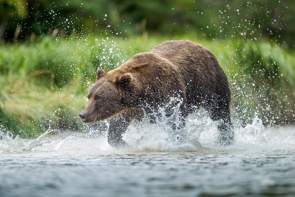 USA, Alaska, Katmai National Park, Coastal Brown Bear (Ursus arctos) chasing spawning salmon through shallow stream by Kuliak Bay
