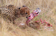 Male cheetah (Acinonyx jubatus) feeding in the savanna grass of Maasai Mara, Kenya.
