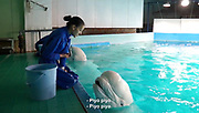 "Nack, the beluga that ""talks""<br /> <br /> This is one of the leading Aquariums in Japan, its a 2 hour drive from Tokyo state, and has around 11,000 organisms on display. It also has has a talking belong whale, so we interviewed the aquarium's director about it. ""Nack"" the beluga was caught in Canada in 1988.<br /> Among dolphin species, the beluga's distinctive characteristics are their pure white colour.. and the lack of a back fin though they are scarce. <br /> if you touch one you'll notice right away they're very soft. Its thought that they got like that because they live in freezing cold water,<br /> <br /> At the end of its forehead it has a hole for breathing, called the ""air Sack""<br /> by drawing sound between the air sack and spiracle, it whistles like a human, 7 years ago, with the cooperation of the aquarium, a professor began training the beluga, to imitate human speech as part of his research, now its a popular performance. <br /> ©28Lab/Exclusivepix Media"